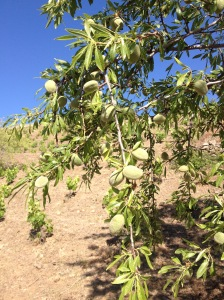Almond Tree planted in a vineyard