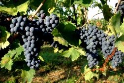 Sangiovese Vineyard in Montepulciano